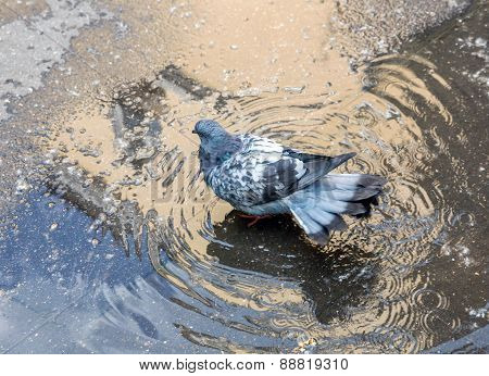 Urban Pigeon Bathed In Puddle