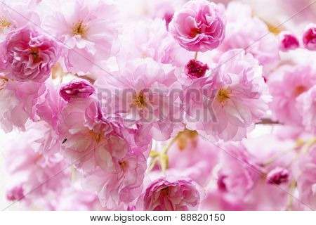 Pink cherry blossom flowers on flowering tree branch blooming in spring