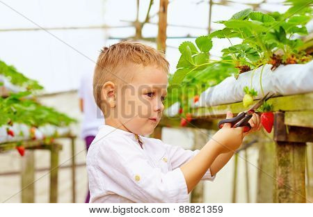 Father And Son Harvesting Strawberries In Greenhouse