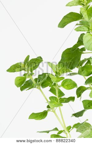 Fresh garden Oregano Herb