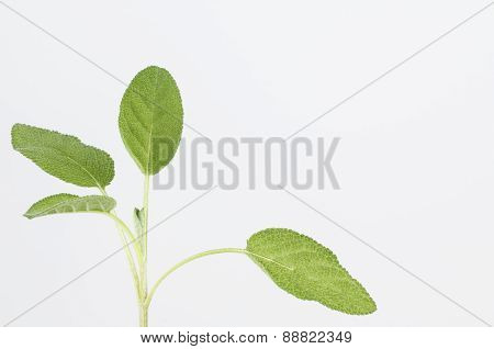 Fresh Sage Leaves And Stem