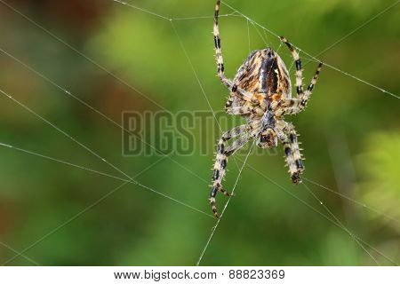 Closeup of  a Garden Spider on its web in the garden in Austria