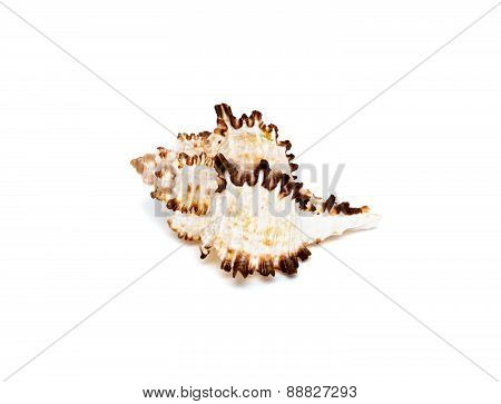 Sea shell with brown spikes