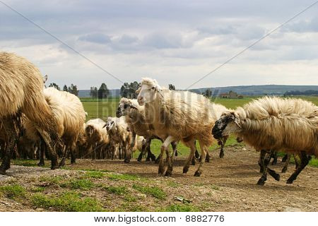 Flock of typical sicilian sheep