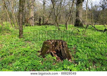 Old rotten wooden stump on meadow in forest at sunny spring day