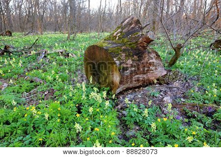 Old rotten wooden stump on meadow in spring forest