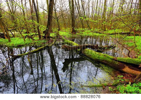 old tree on bog in deep forest at spring time