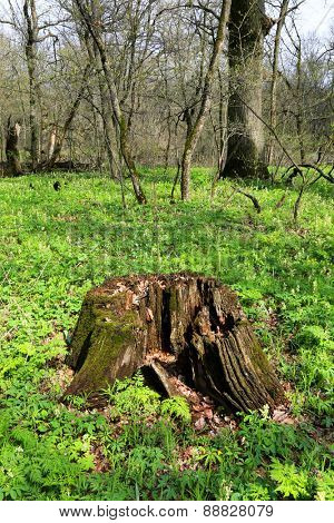 Old rotten wooden stump in forest at sunny spring day
