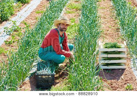 Farmer man harvesting onions in Mediterranean orchard field