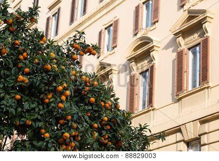 Orange Trees In Rome