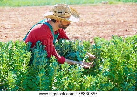 Farmer man harvesting lima beans in Mediterranean orchard field