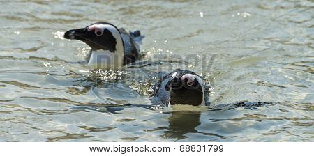 Jackass Penguins (spheniscus Demersus)