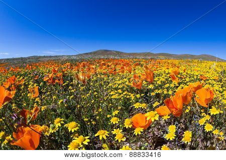 California Poppies -eschscholzia Californica