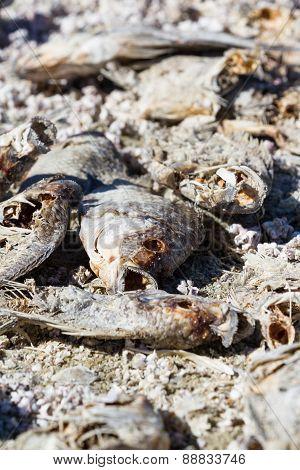 Dead Fish  In The Salton Sea