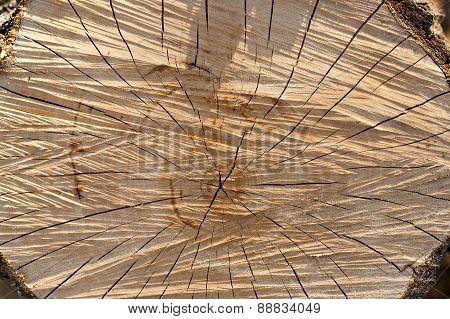 the sawn tree