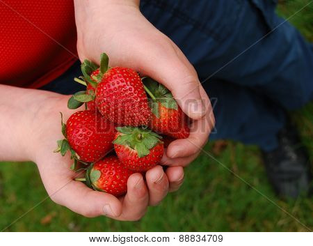 Freshly Picked Ripe Strawberries