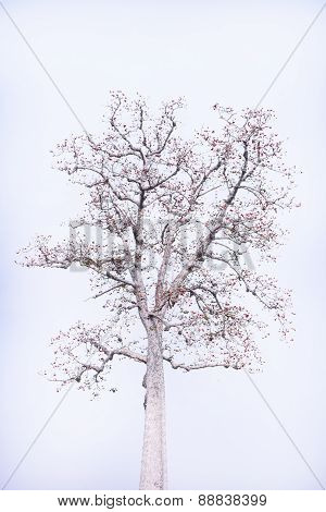 Blossom Of The Red Silk Cotton Tree Isolated