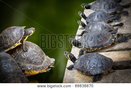 Water Turtles family