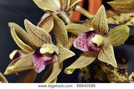 Devon's Cymbidium Orchid