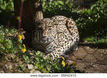 Persian leoprad
