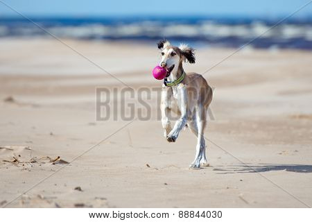 happy saluki puppy running on the beach