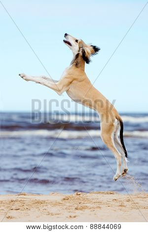saluki puppy jumping up on the beach