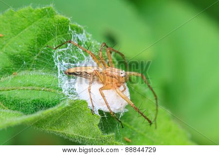 Spider In Forest