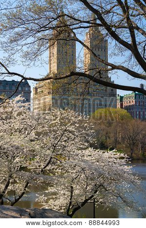 Yoshino Cherry Trees Blooming In Spring, Central Park, New York