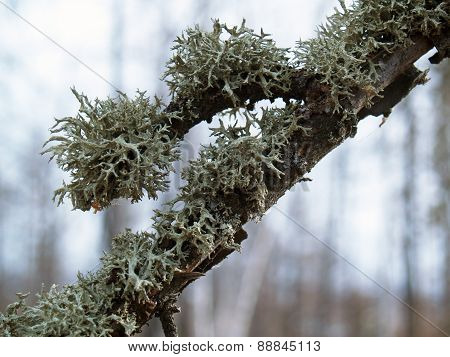 Lichens On A Branch