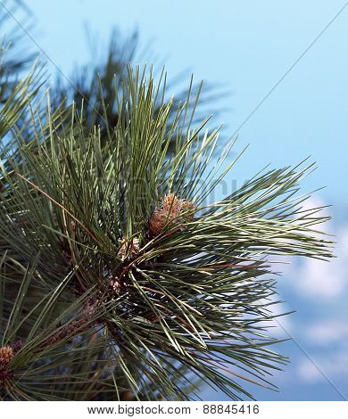 Needles And Cones Of The First Year Of A Pine Stankievich