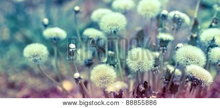 Beautiful nature - Dandelion seeds