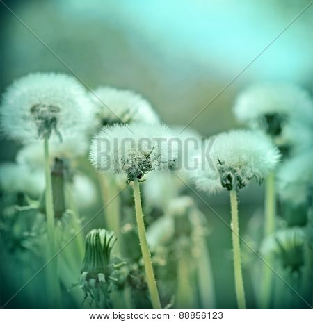 Fluffy blowball - dandelion seeds in spring