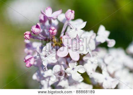 Macro Of A Broadleaf Lilac