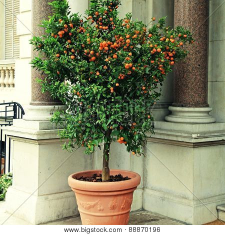 Tangerine Tree In The Pot, Cote D'azur, France