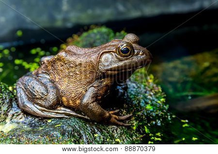 A Large Older Bronze Colored American Bullfrog in Texas