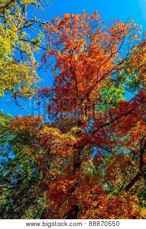 Bright Fall Foliage on Maple Trees in Texas