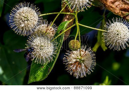 A Very Interesting Closeup of the Spiky Nectar-Laden Globes (Blooms) of a Wild Button Bush Shrub