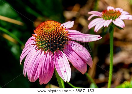 Detailed Closeup of a Beautiful Pink or Purple Coneflower
