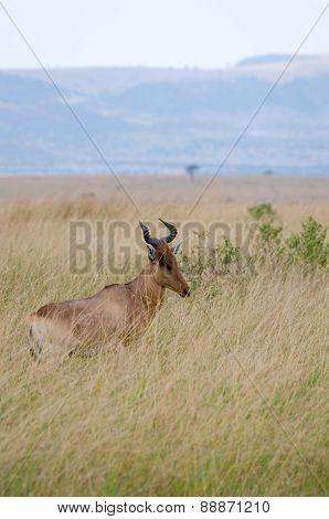 A deer in Masai Mara, Kenya