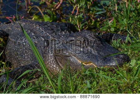 Big Wild Alligator on the Bank of a Texas Lake