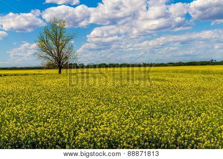 A Field Full of Beautiful Bright Yellow Flowering Canola Plants Growing on a Farm