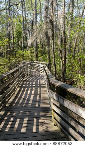Walkway Through The Bald Cypress Trees.