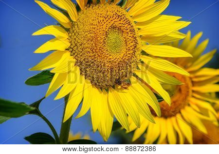 Beautiful  sunflower with a bee