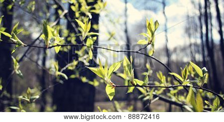 The First Spring Gentle Leaves - Retro Photo. Buds And Branches