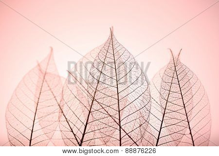 Skeleton leaves on pink background, close up