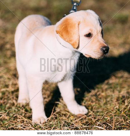 Beautiful White Dog Lab Labrador Retriever Pup Puppy Whelp