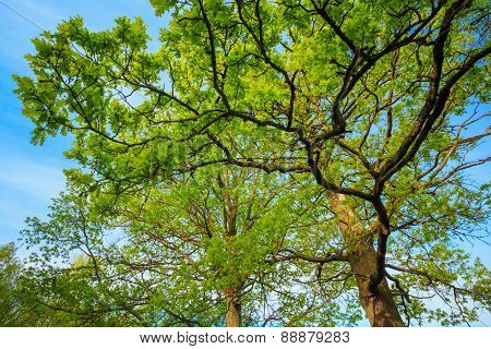 Canopy Of Tall Oak Trees. Upper Branches Of Tree