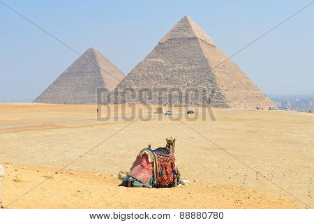 Giza Pyramids in Cairo, Egypt - A tour camel looks at Pyramids