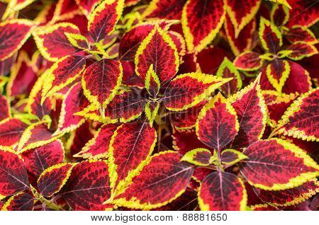 Coleus Or Painted Nettle Background.