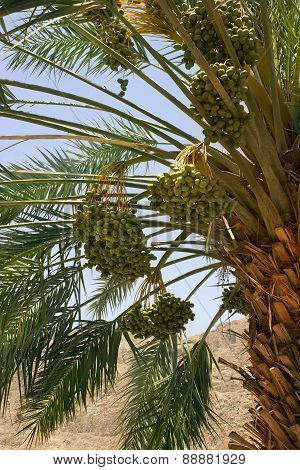 Harvest Dates On The Palm
